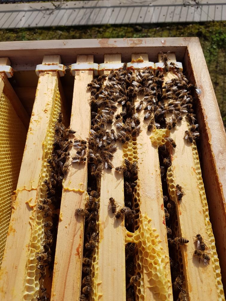 Blick von oben auf die Rähmchen mit ansitzenden Bienen
